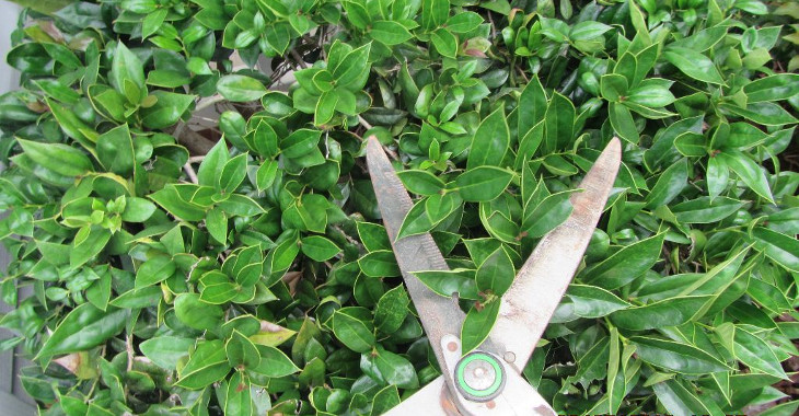 trimming_shrubbery_with_hedge_clippers